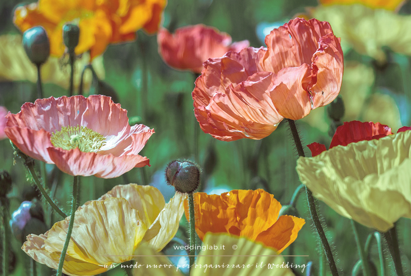 Papaveri: fiori per un matrimonio in primavera